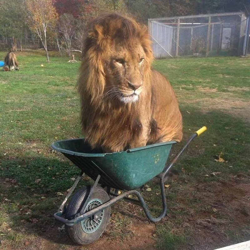 A very large fully grown lion sitting in a green wheelbarrol, once a cat always a cat - cover for hilarious animals acting weird