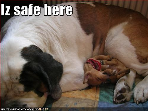 chihuahua,cuddle,large,safe,saint bernard,snuggle,tiny