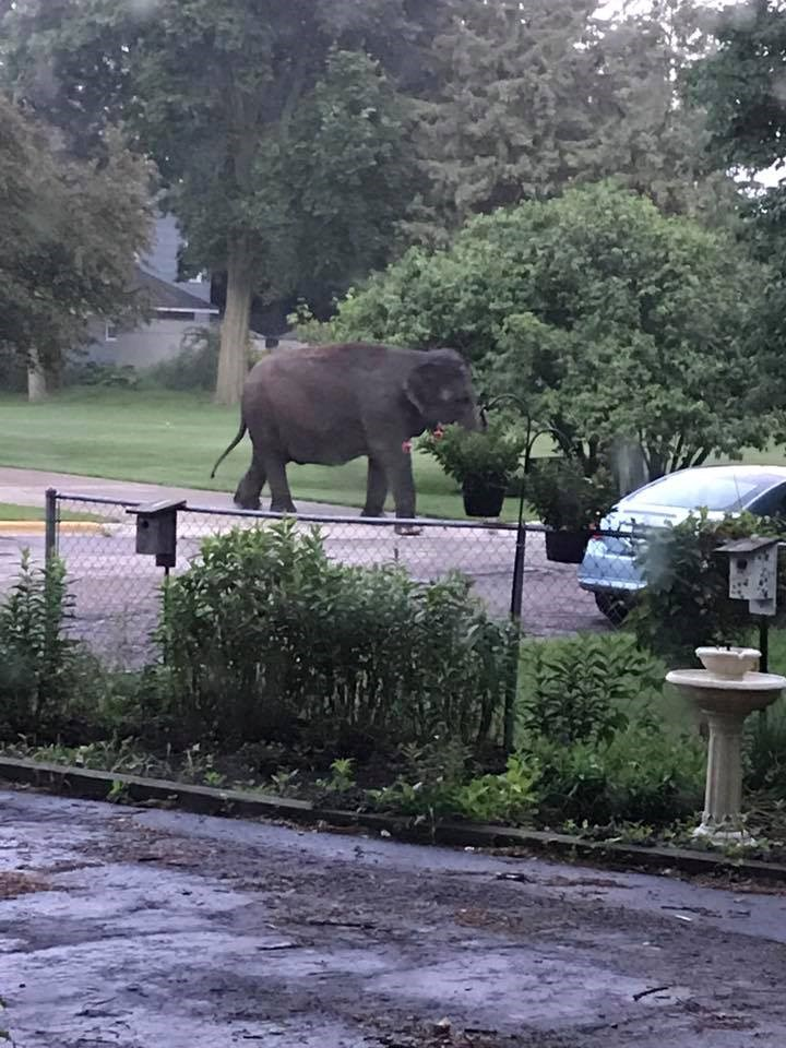 an asian elephant eating the leaves off a tree in someones front yard - a story of an elephant escaping from the circus to go eat some plants in a quite neighborhood neaarby