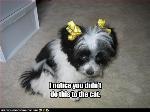 hair bows lolcats pampered puppy shihtzu