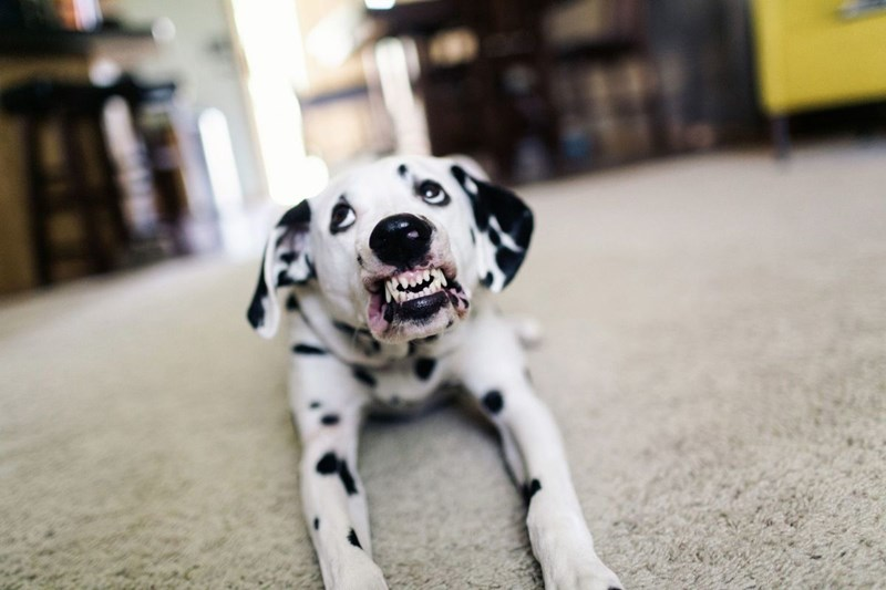 a cute 3 year old dalmatian smiling for the camera - cover for a story about a dalmatian and his owners who has trained him to smile on command