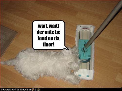 broom floor food maltese stop sweeper wait - 2641848320