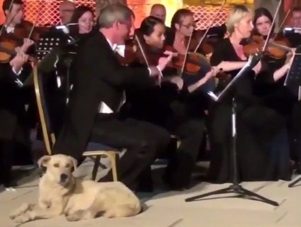 Dog strolls on stage during classical concert