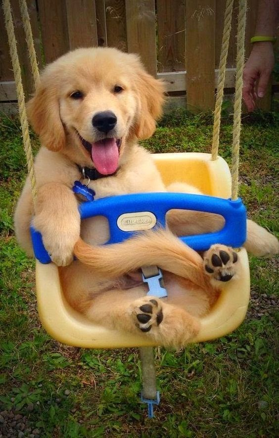 an adorable puppy golden retriever sitting in a swing set and smiling - cover for a group of different photos of animals smiling