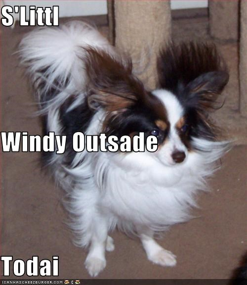 floppy ears,outside,papillon,wind