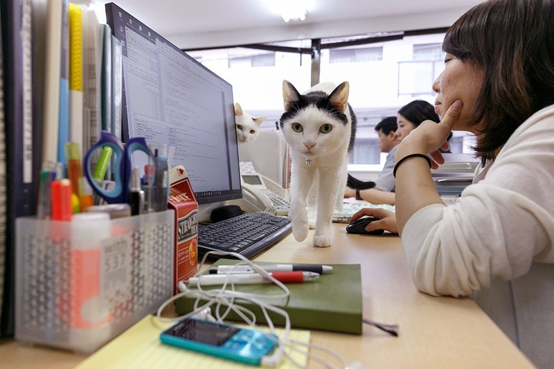 a black and white cat walking through as some one is working on the computer - cover for a story about a company in japan that has adopted cats and is not having them live in the company to help their employees