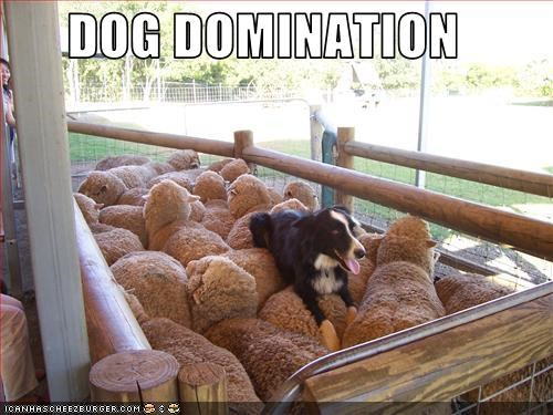 border collie domination sheep work working dog - 2657873920