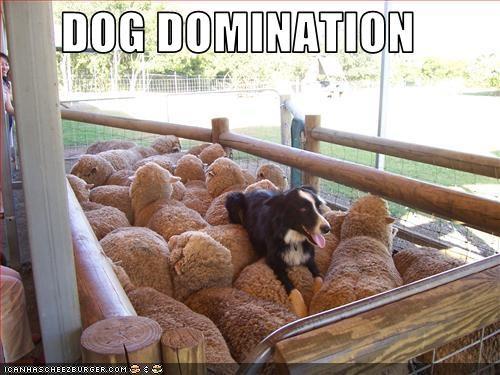 border collie domination sheep work working dog - 2657873920