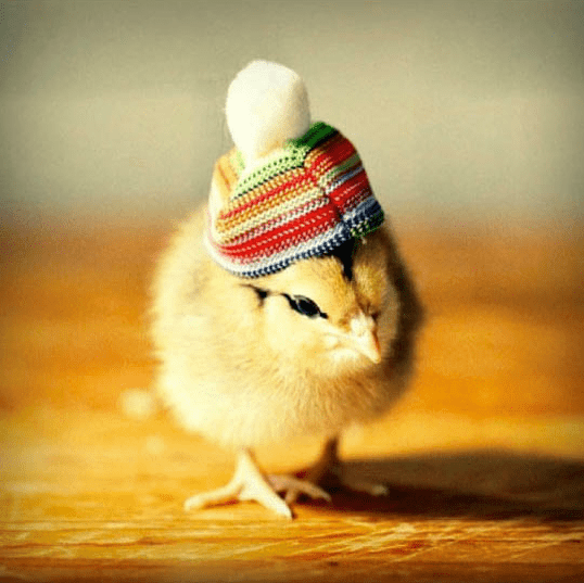 a funny small baby chick wearing a colorful hat - cover for a list of baby chicks wearing very small hats
