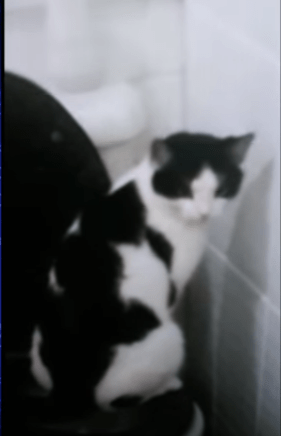 video of a cat that thought herself to use the toilet like a person