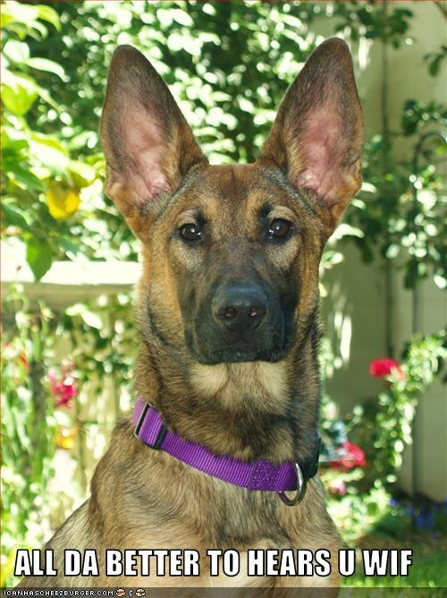 big ears german shepherd hear Little Red Riding Hood - 2671745280