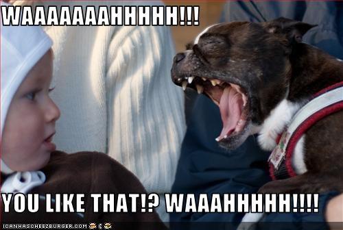 baby boston terrier crying human loud shouting - 2678076416