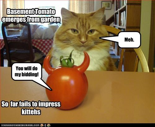 You will do my bidding! Meh. Basement Tomato emerges from garden So far fails to impress kittehs
