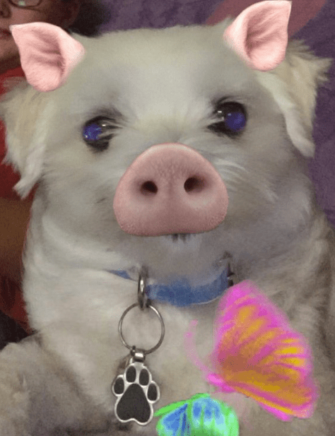 a picture of a white puppy using the snapchat filter of a piglet and it looks really cute - cover for a list of dogs that are working the snapchat filters