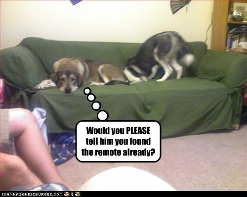 couch digging found remote control siberian husky - 2689803520