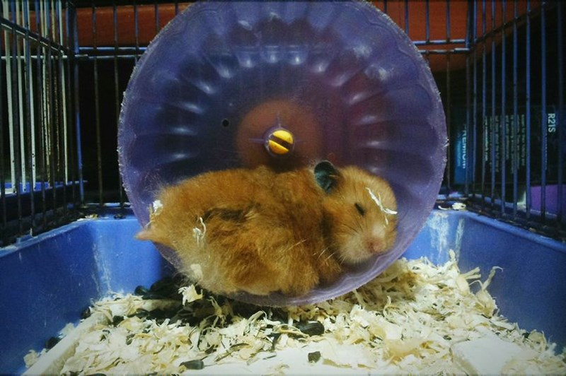 a picture of a small hamster sitting in its wheel looking like its sleeping - cover for a story about a girl whose brought her hamster to the vets to get checked out because he wasn't moving and the reason was because he was stuck to the cage.