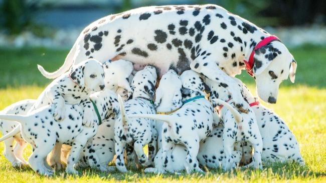 Dalmatiam mom delivers 18 puppies and breaks world record