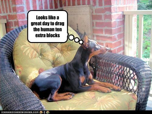 block,day,doberman pinscher,drag,human,walk