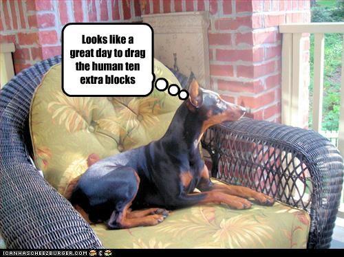 block day doberman pinscher drag human walk - 2696728320