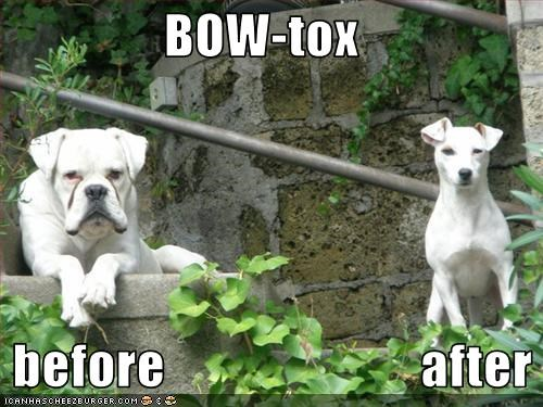american bulldog Before And After botox jowls mixed breed pitbull plastic surgery wrinkles - 2697498368