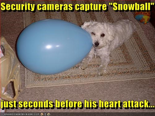 balloon,bichon frise,explosion,heart attack,scary