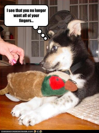 australian shepherd bite fingers puppy threats toy - 2705433600