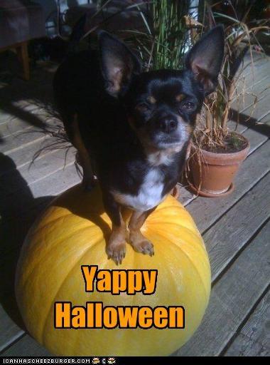 chihuahua halloween happy pumpkins - 2714442752