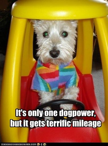 car driving west highland white terrier - 2714565120