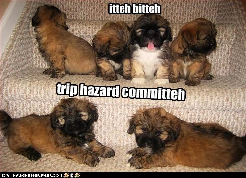 havanese itteh bitteh committeh puppies stairs trip - 2714590976