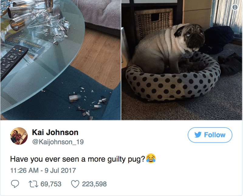 a story about a pug that broke some glasses and the owner tweets about it with pictures because her dog just looks so guiltly