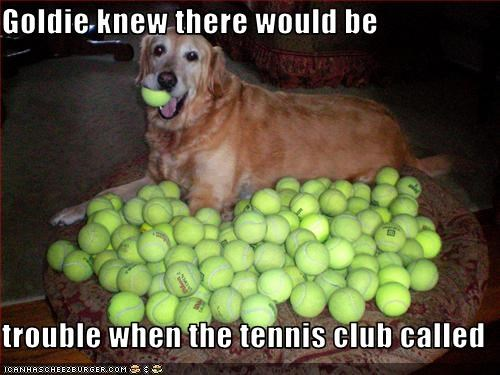 balls golden retriever tennis balls toys trouble