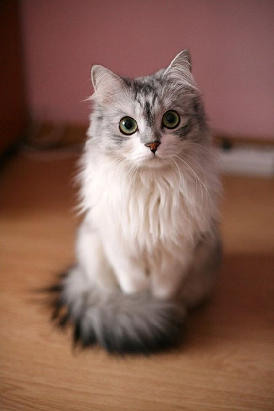 A very pretty and adorable cat staring into the camera and looks like a kitten - cover for a article about why a cats fur changes color over time