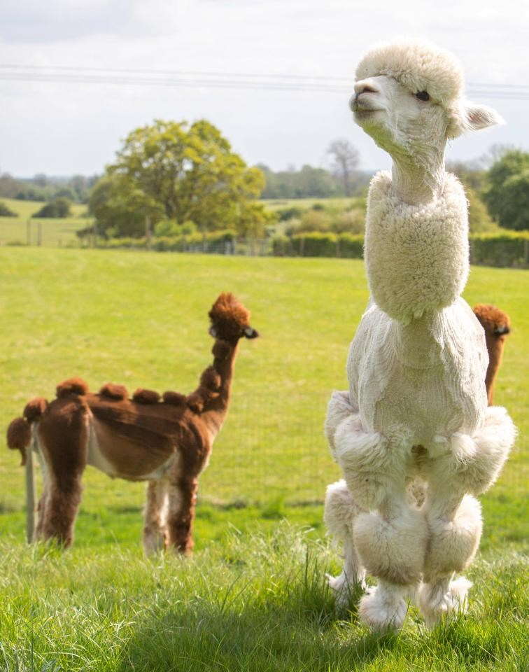 Funny haircuts to Alpacas in the UK