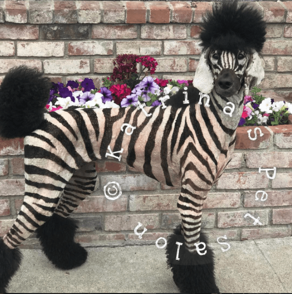 dog groomer turns her dog into a zebra