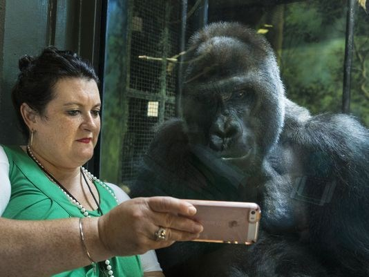 technology savvy gorilla watches cellphone videos with zoo visitor