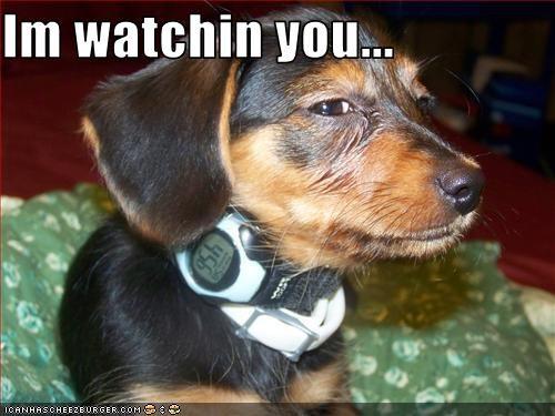 dachshund eyes suspicious watch - 2746895616