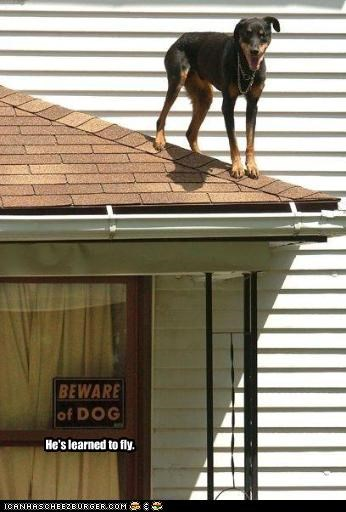 doberman pinscher,flying,learning,roof,trouble