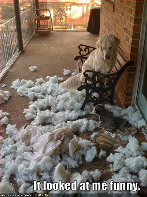angry bed destruction golden retriever Pillow shredding - 2756111616