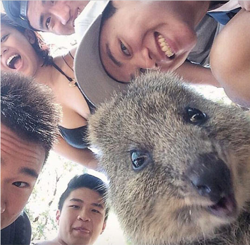 A photo of a quokka with a bunch of people taking a selfie - funny selfies of the happiest animal in the world a quokka
