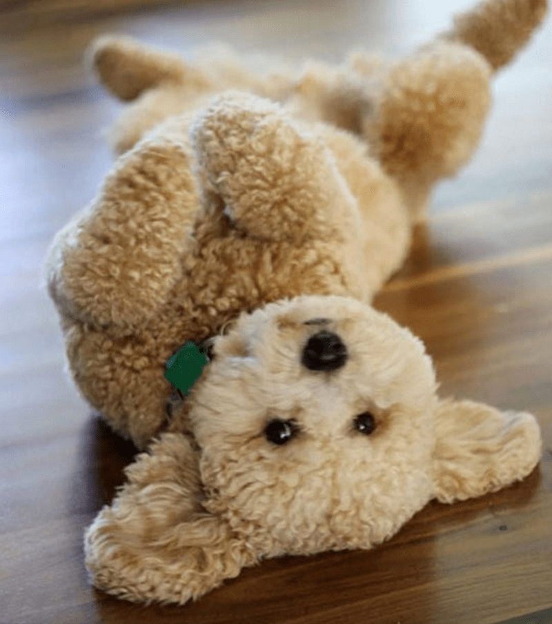 a dog that looks like a teddy bear and is lying on its back looking at the camera - cover for a list of dogs that are so cute and fluffy they look like teddy bears