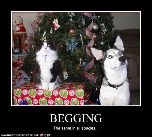 begging,lolcats,malamute,please