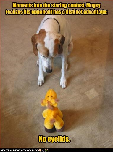 contest,opponent,Staring,stuffed toy,whatbreed