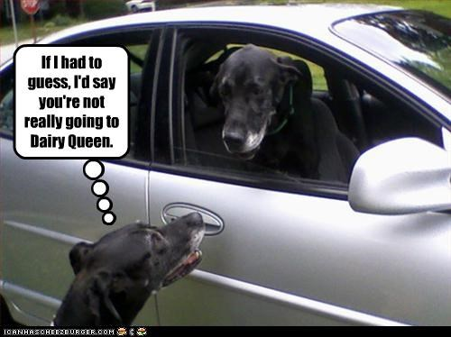 car deception labrador riding vet - 2765749248