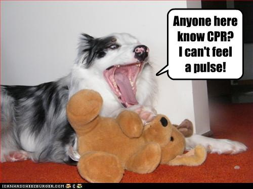 australian shepherd,cpr,help,save,stuffed animal