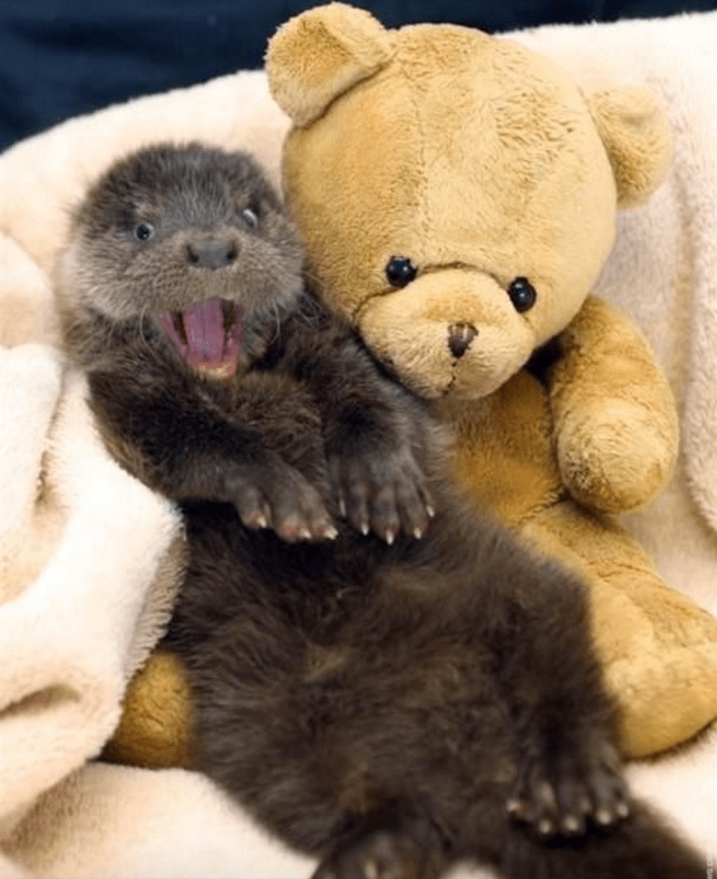 A funny picture of a very shocked otter sitting next to a teddy bear- cover photo for a list of shocked animals