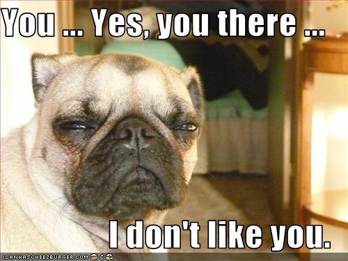dislike,dont,grumpy,hate,pug