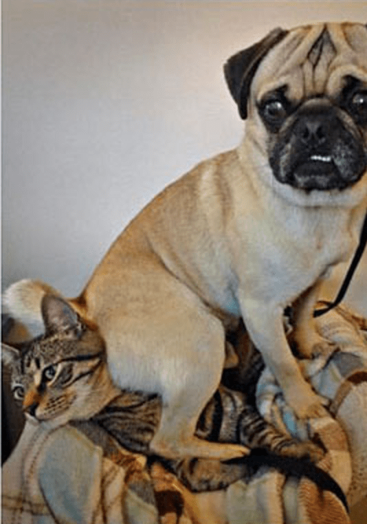 a photo of a bulldog sitting on a cat and not looking sorry about it - cover for a list about how people blame cats but dogs can be jerks too