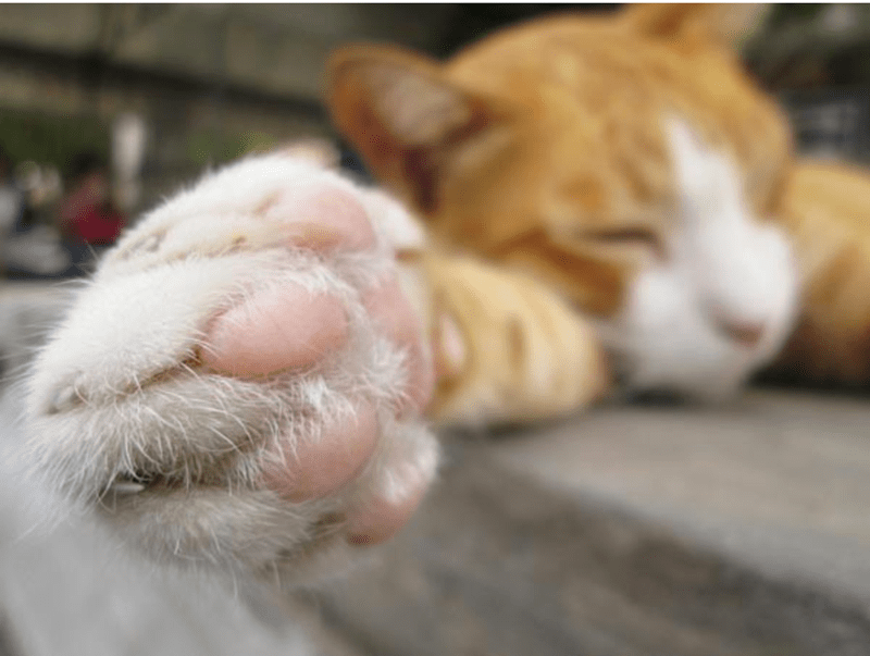 a photo of a cat lying down and showing us his paws - cover for a few interesting facts about a cats paws
