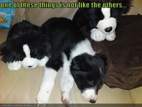 border collie,lookalike,puppy,stuffed animal