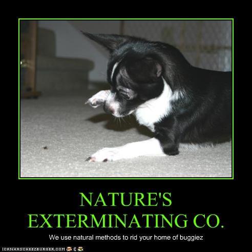 bugs chihuahua help kill nature - 2783561472